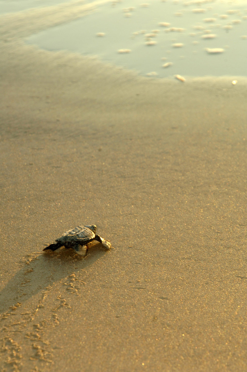 Turtle hatchling heading for the ocean