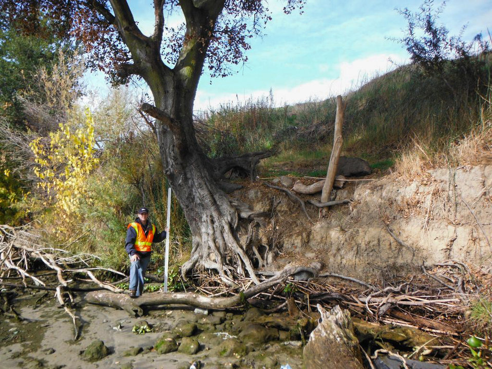 Erosion exposes tree roots on Sacramento River levee