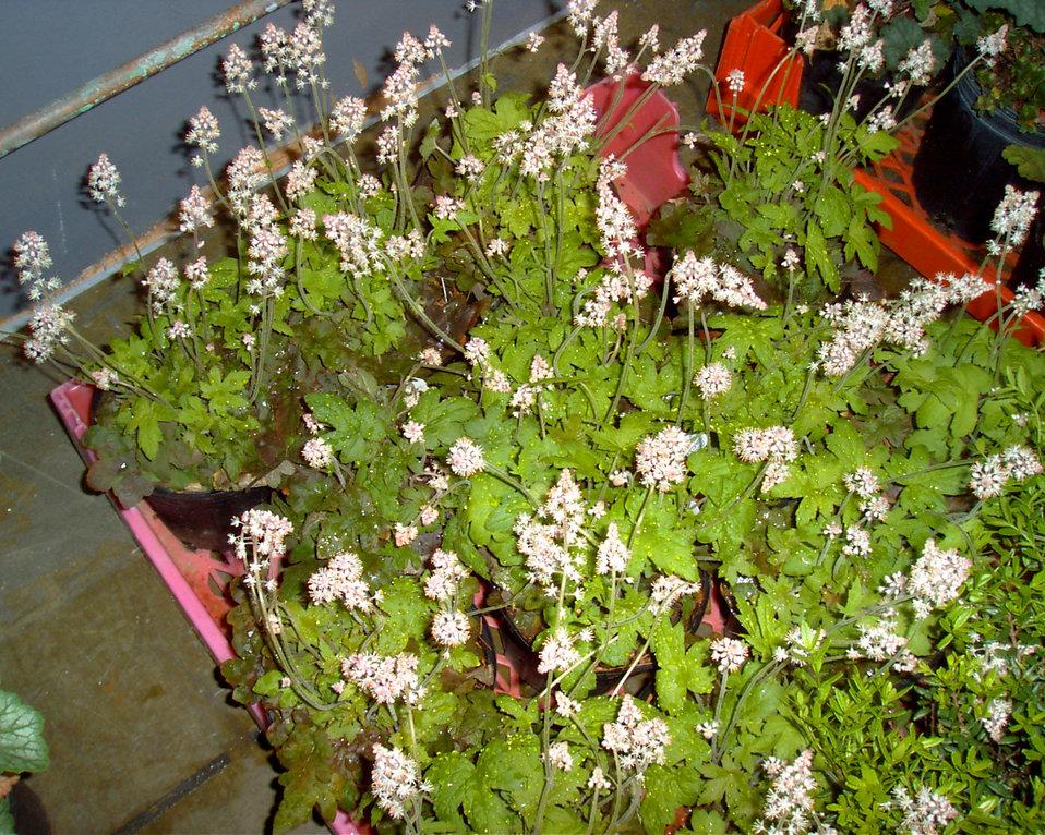 Oakleaf foamflower