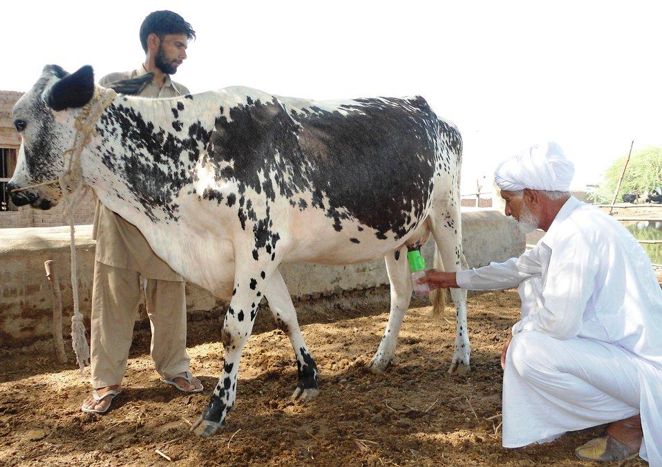 Mushtaq Ahmad practicing teat dipping