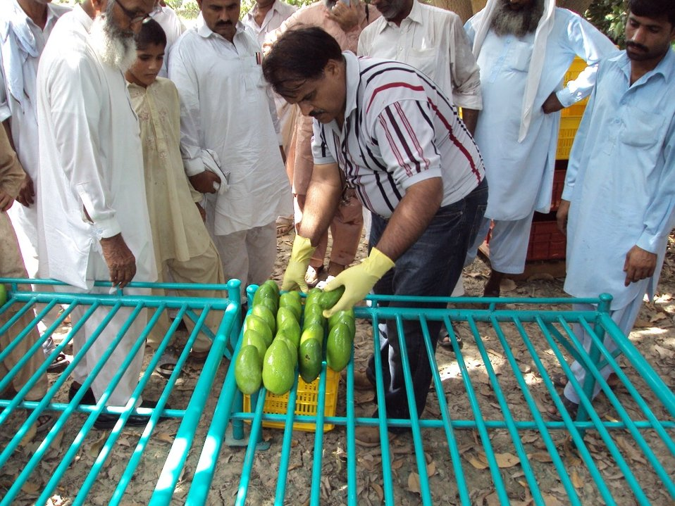 FARMS mangoes