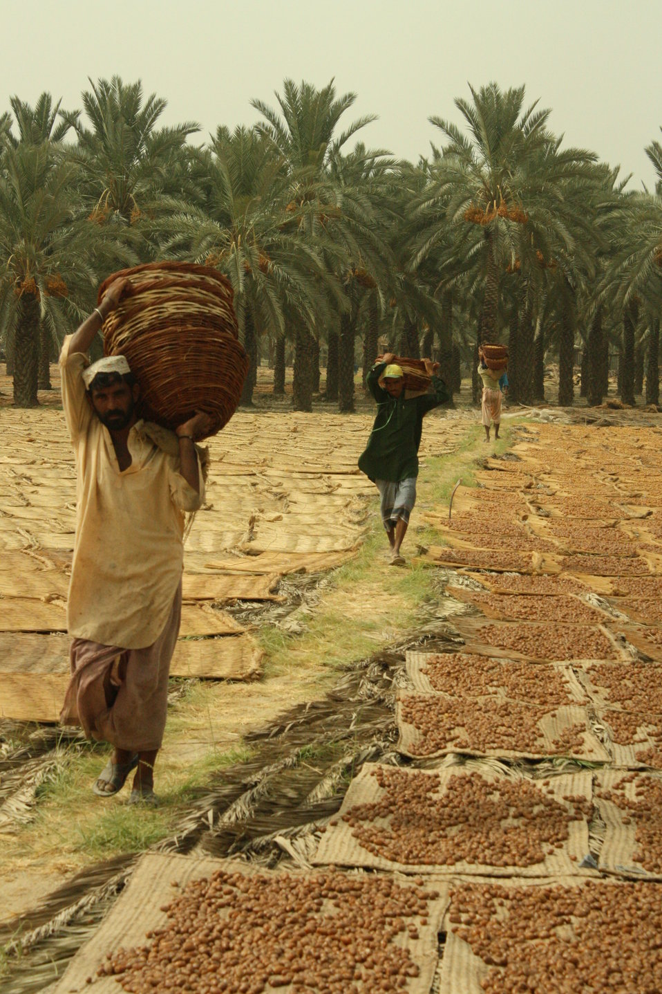 Dates are the third largest horticulture crop grown in Pakistan with an annual production of 550,000 to 650,000 metric tons (MT).