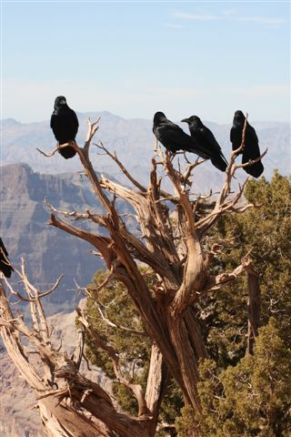 Uploaded by request of Linda Grantham  Taken at the Grand Canyon  While visiting the Grand Canyon this year, we came upon these ravens w