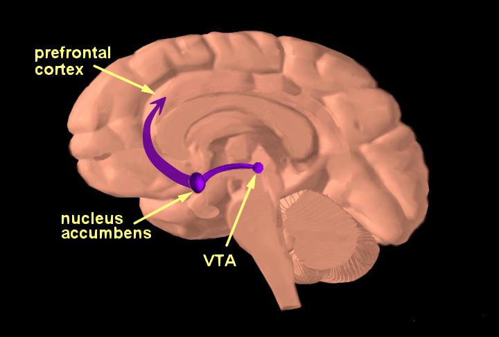 Brain reward pathway