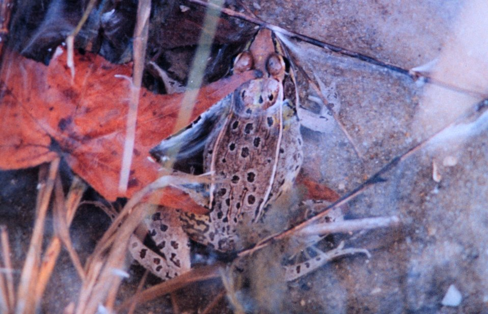 A well-camouflaged Leopard Frog sitting near the edge of a salt water creek.