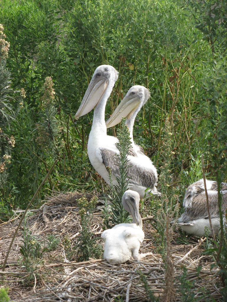 Alabama Young Pelicans by Catherine Hibbard, USFWS