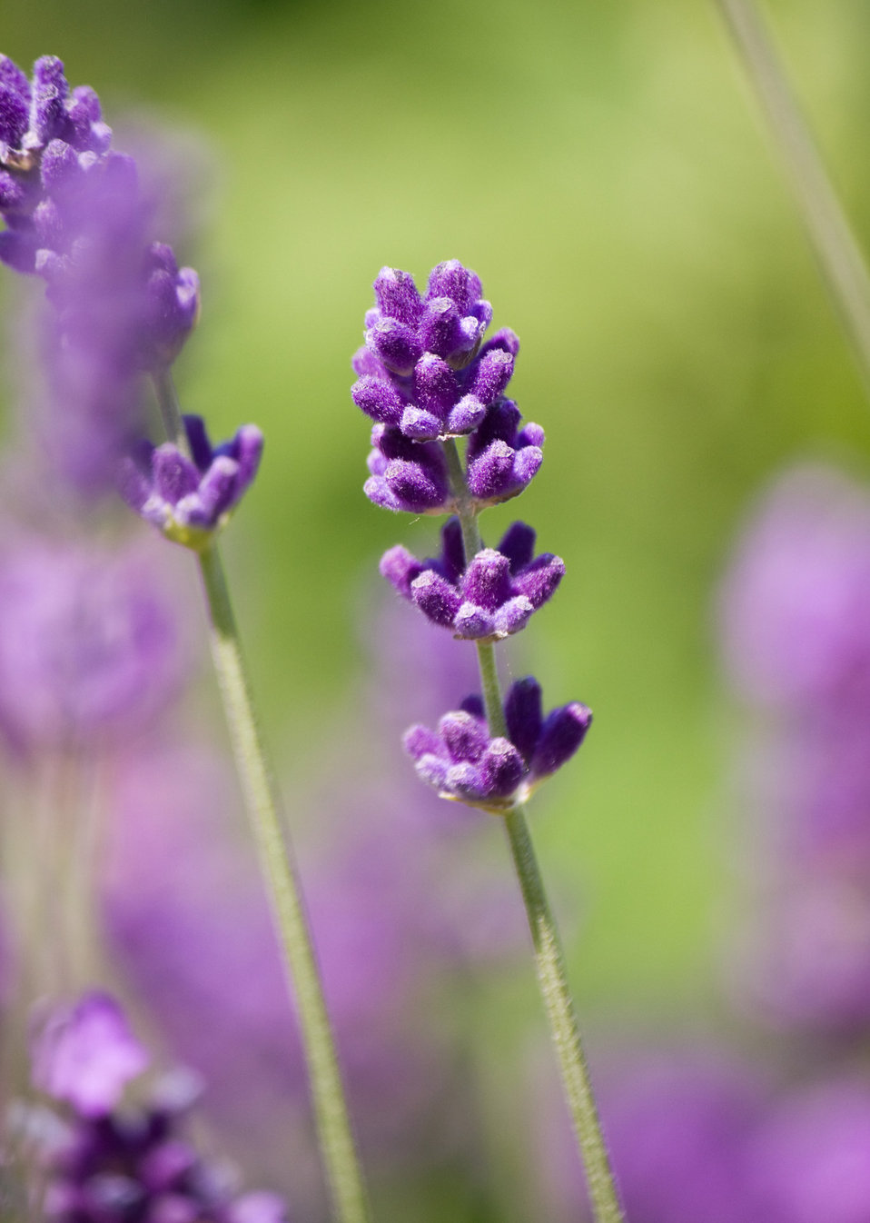 Lavender flower close-up