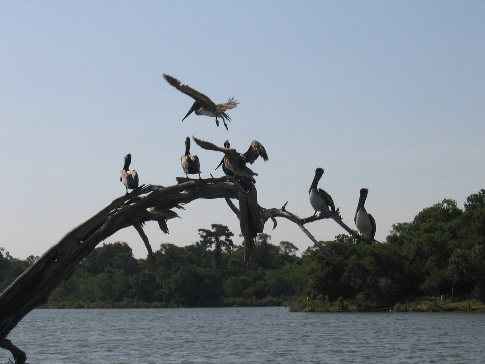 Pelicans at Armand Bayou, Texas