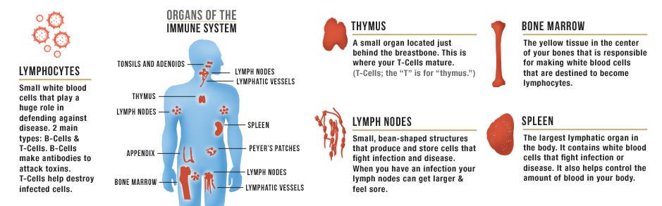 immune system101