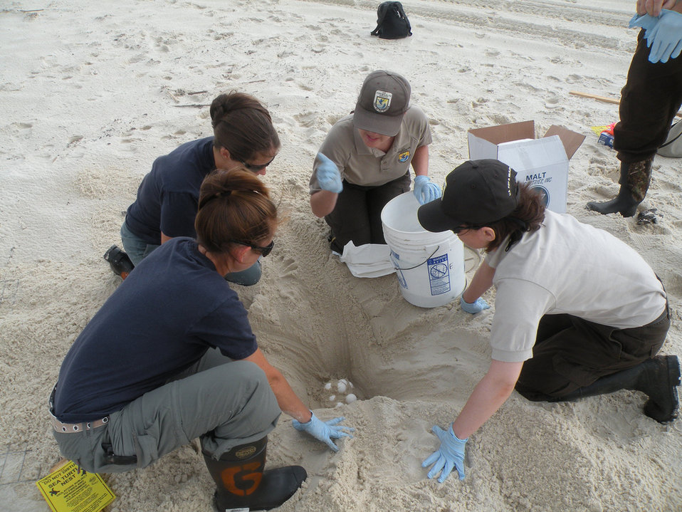 Saving Sea Turtle Eggs Credit: Bonnie Strawser, USFWS