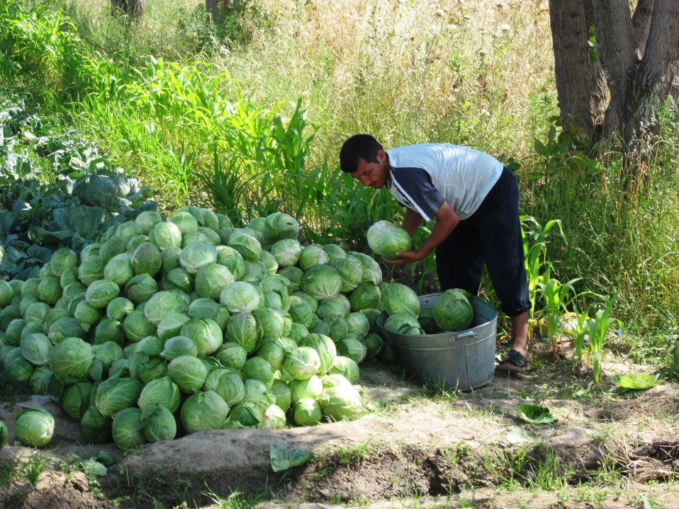 Tajik Farmer Takes Cabbage to the Market