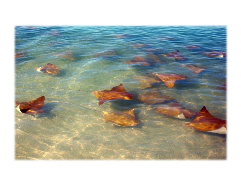 Manta rays near shore, Louisiana