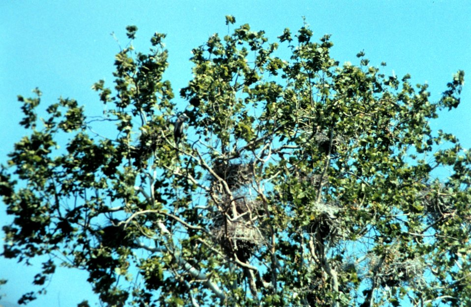 A Patuxent River Great Blue Heron nesting site, or 'heronry.'