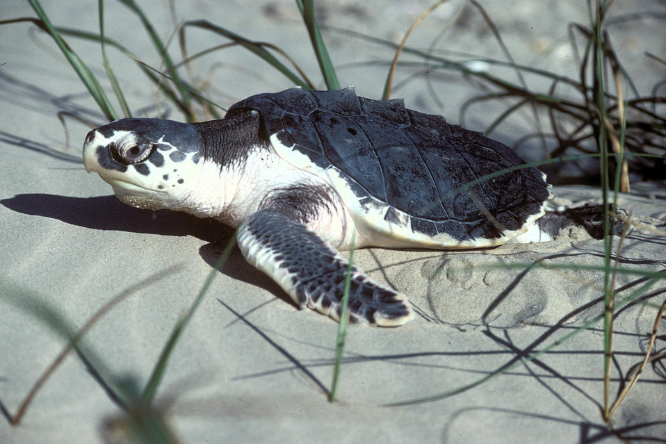 Kemps Ridley Sea  Turtle, Texas