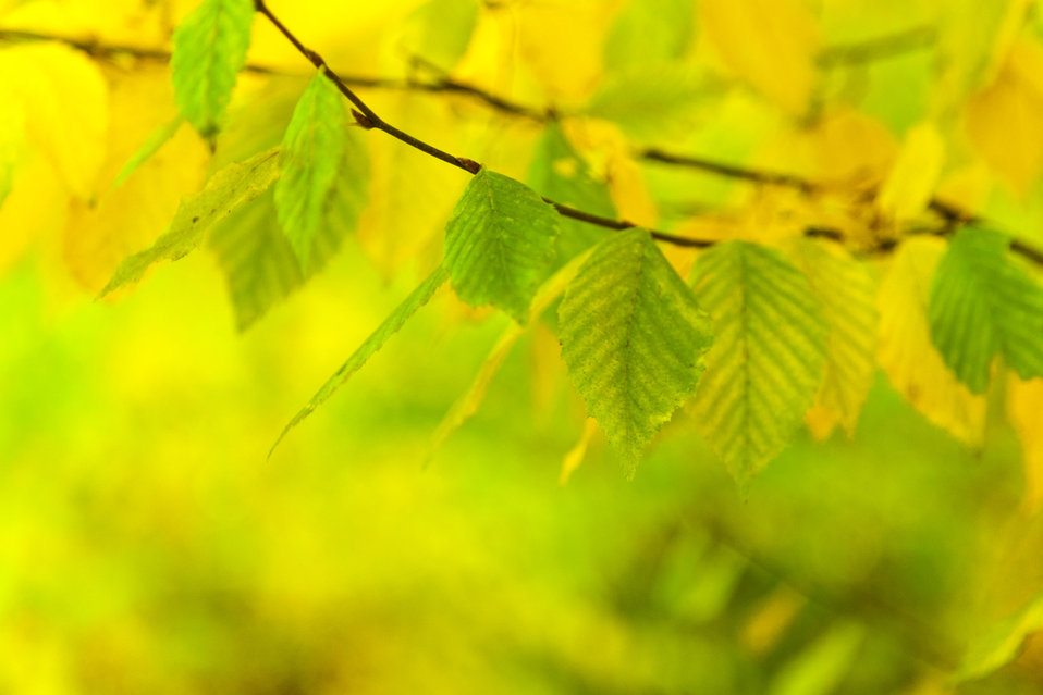 Green and yellow beech leaves