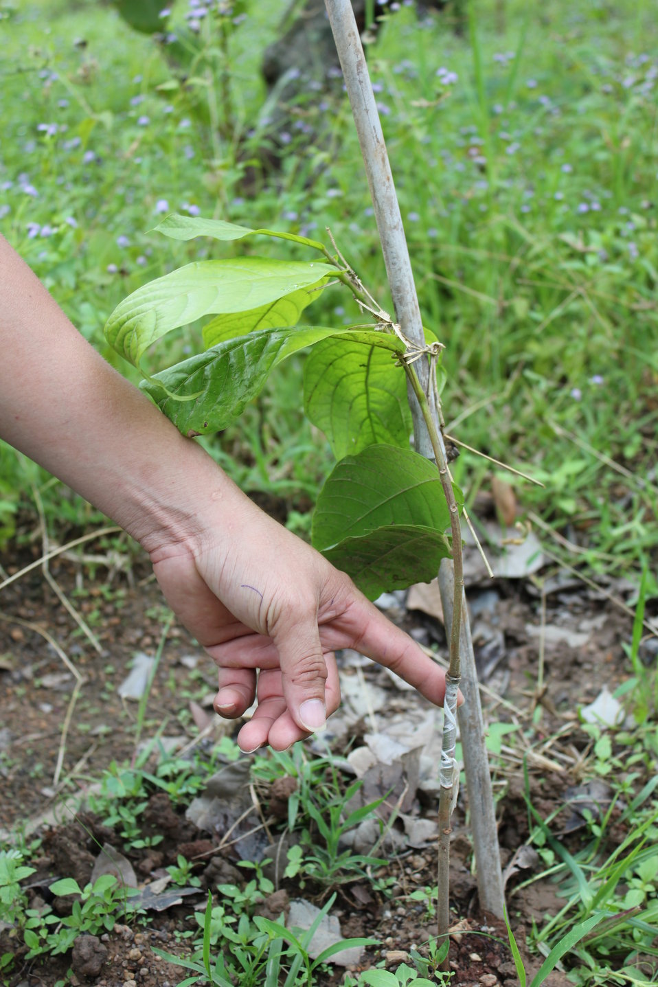 USAID supports cocoa cultivation in central Vietnam