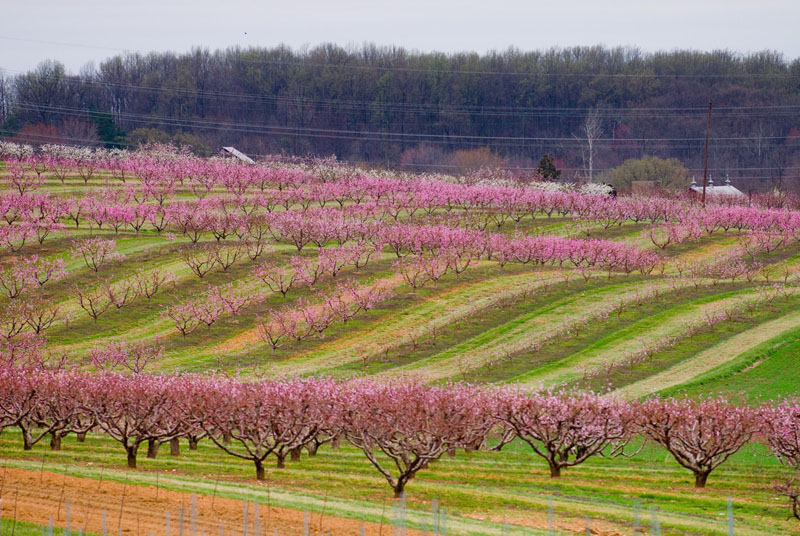 Apple orchard in spring bloom. Poolesville, MD, 2007 USEPA Photo by Eric Vance