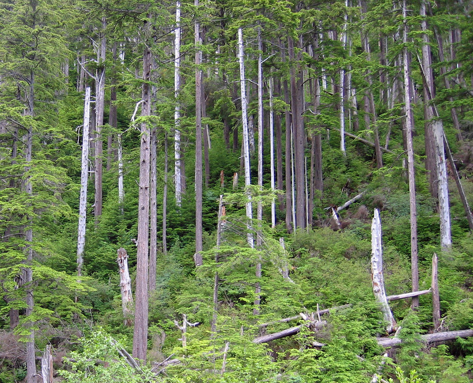 Alaska winter  forest wind damage a