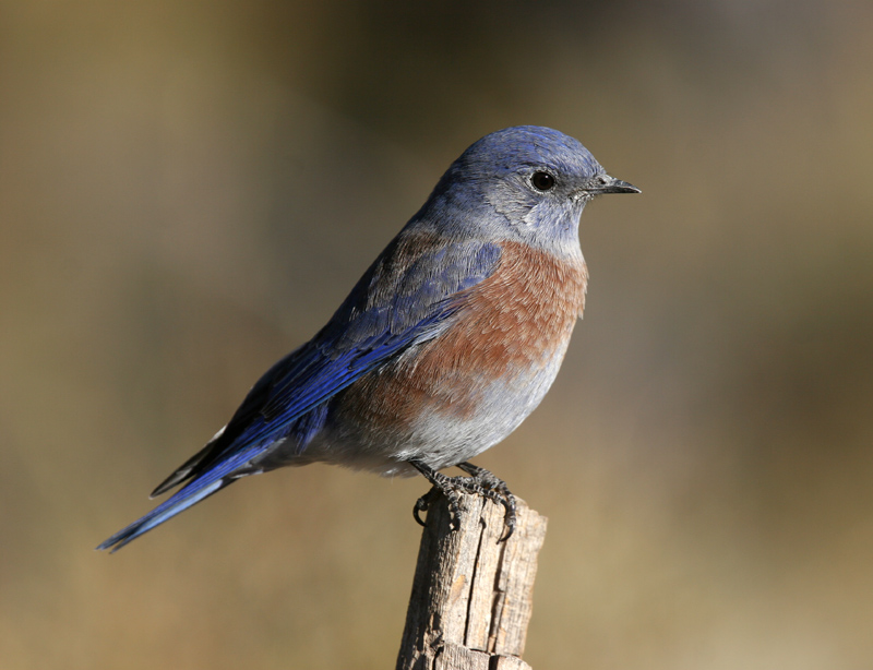Male Bluebird USFS