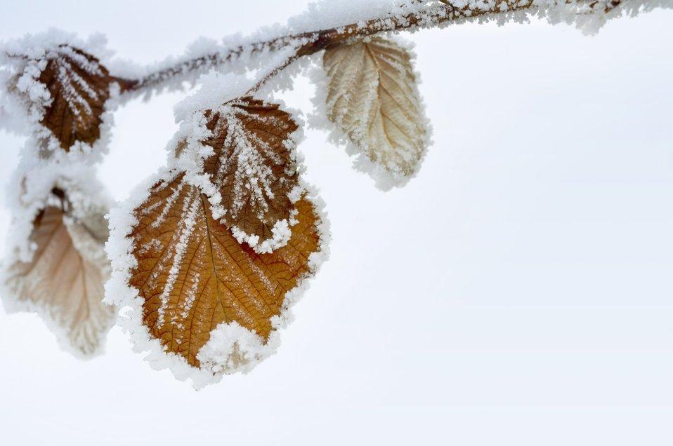 Dry leaves in snow