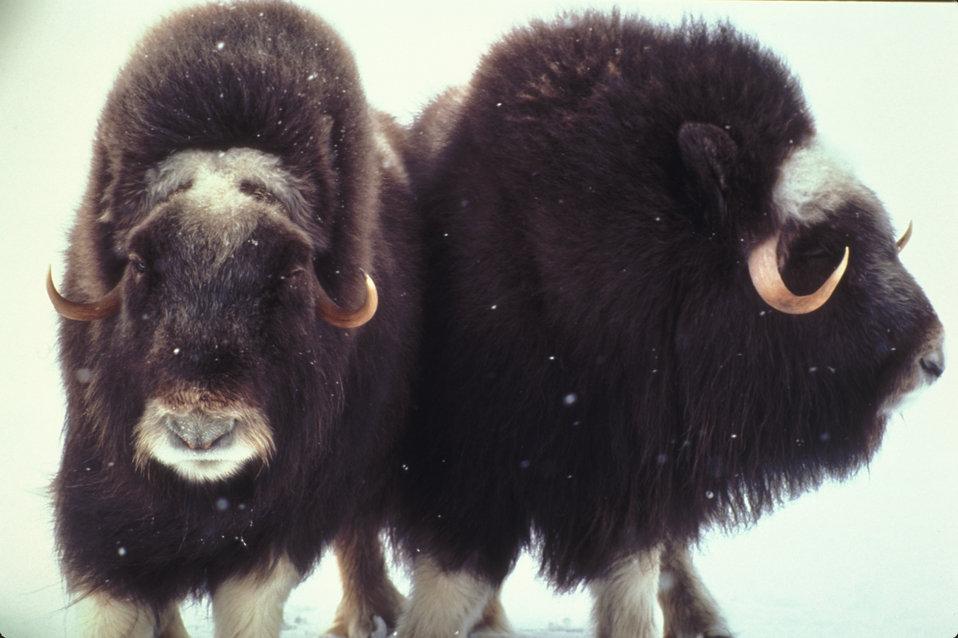 musk ox pair