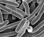 Bacteriarazorback.jpg
