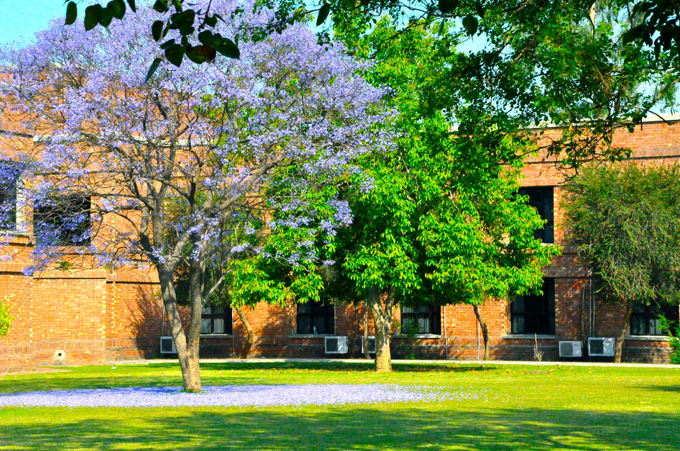 Jacaranda tree at LUMS, the conference venue