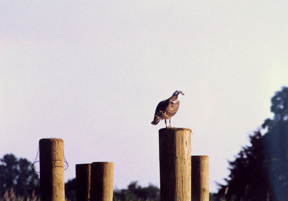 Osprey on pier piling.