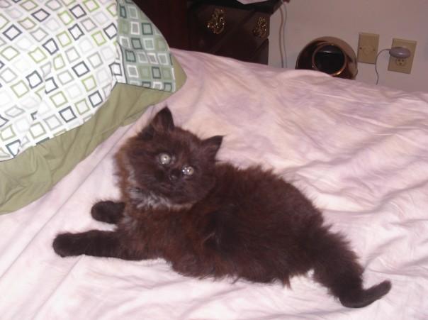 York Chocolate kitten