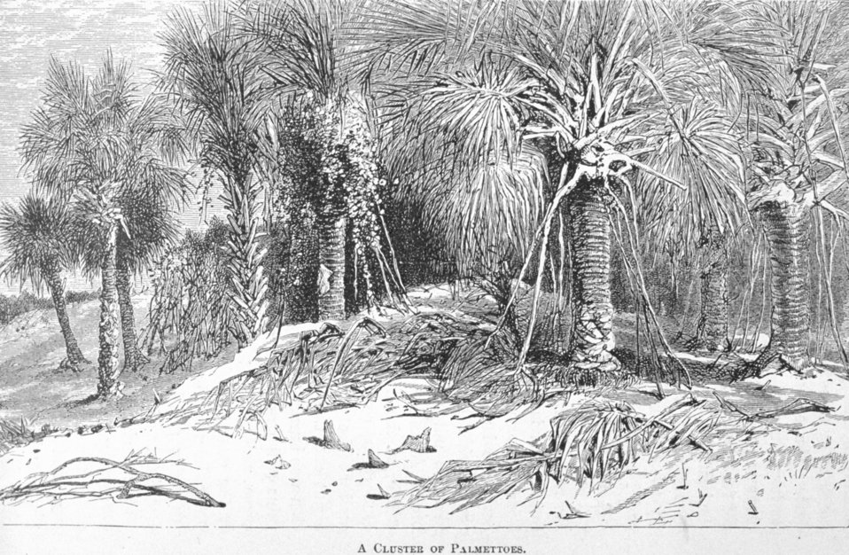 A Cluster of Palmettoes - in 'Florida for Tourists, Invalids, and Settlers'  by George M. Barbour, 1881.  Library Call No. F316 .B23 1881.