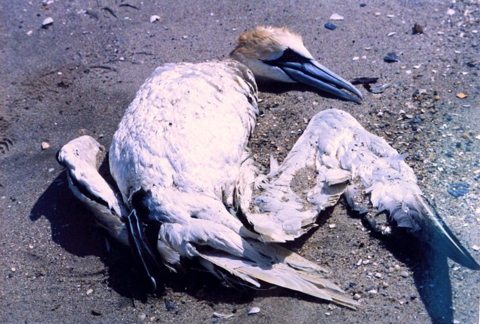 A Northern Gannet, somewhat north of its normal range, tangled in fishing line and drowned.