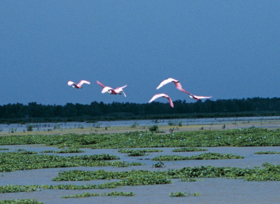 Flight of roseate spoonbills flying above the Everglades.