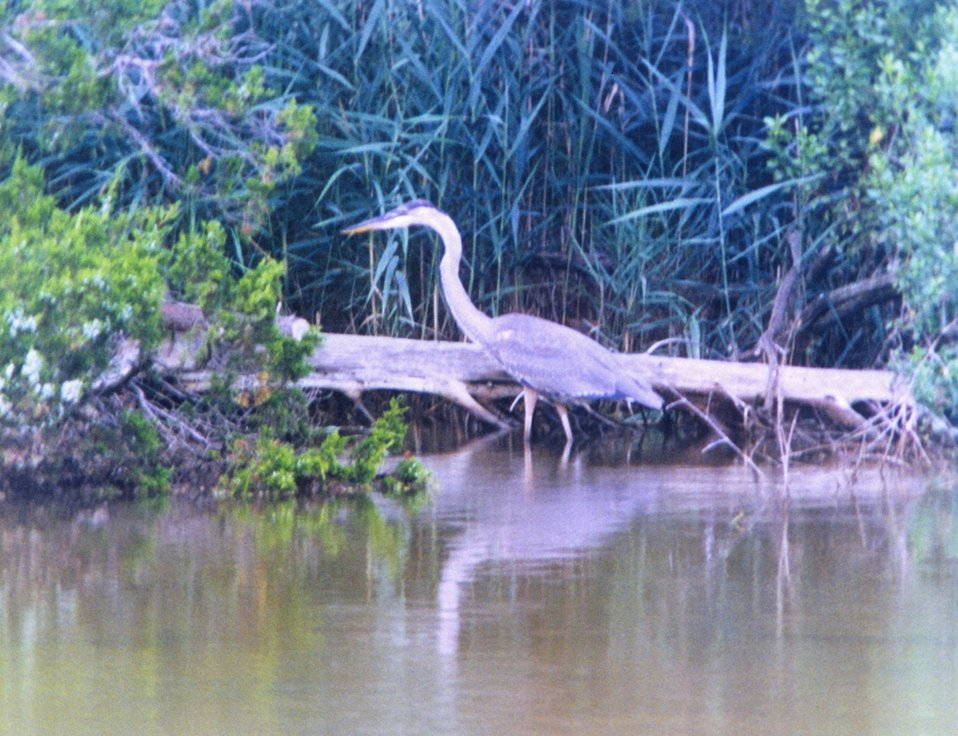 A Great Blue Heron on the banks of the Patuxent River.