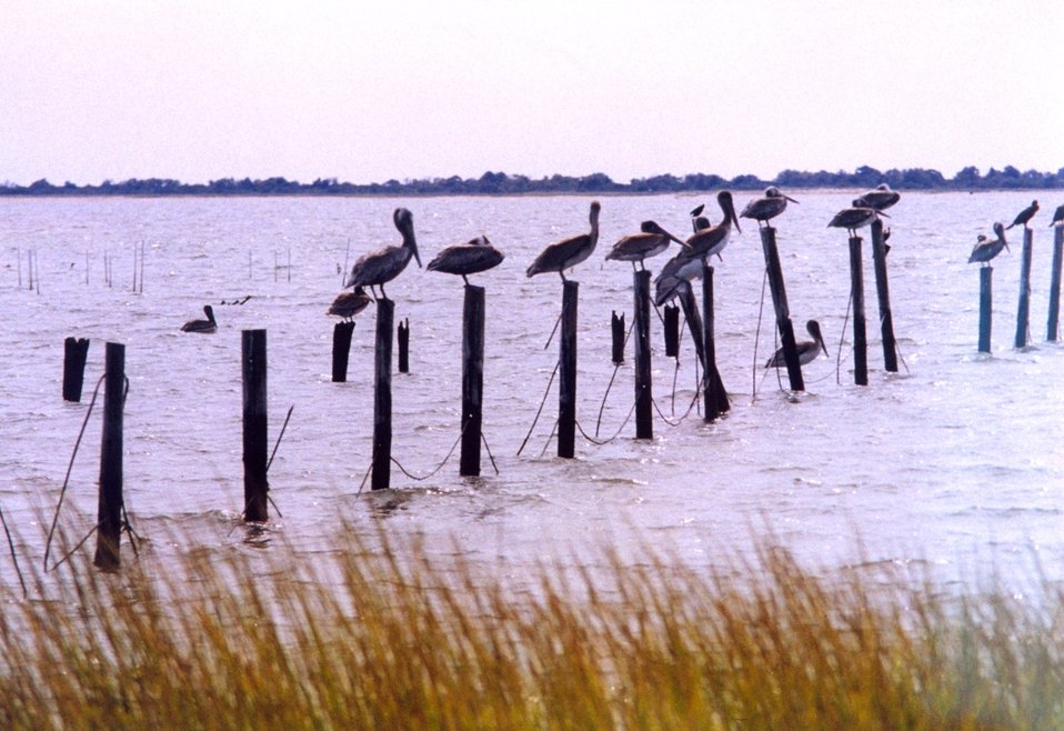 Pelicans on a post.
