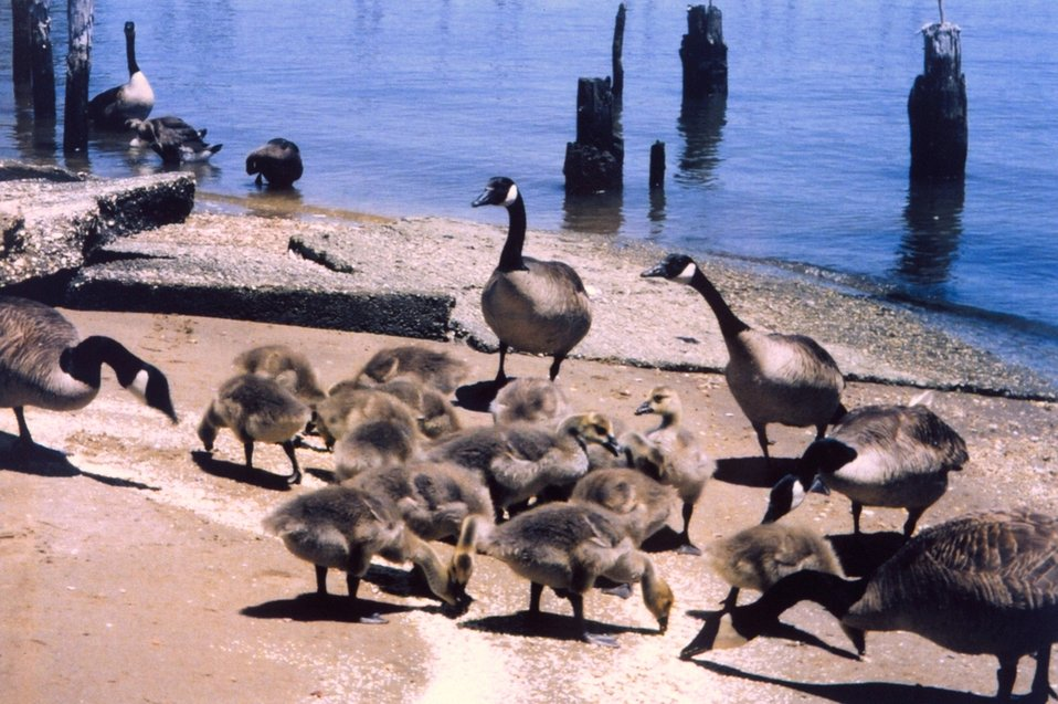 Resident Canada Geese - the ones who 'forget' to fly home for the summer. Resident Canada Geese put additional stress on the Chesapeake Bay ecosystem.
