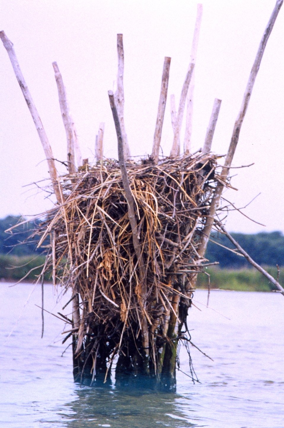 Closeup of an osprey nest built amid pound net posts.