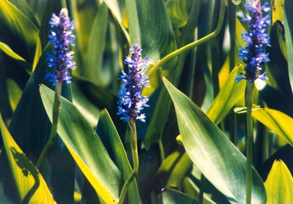 Flowers of the pickerel weed (Pontederia cordata.)