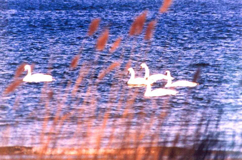 Tundra swans near the mouth of the Patuxent River. These swans can be distinguished from mute swans by their black bills.  Tundra swans are native to the Chesapeake Bay region.