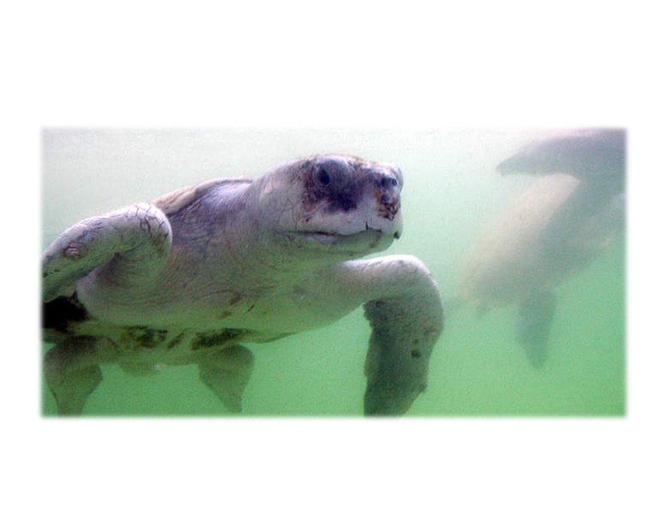 Louisiana turtle