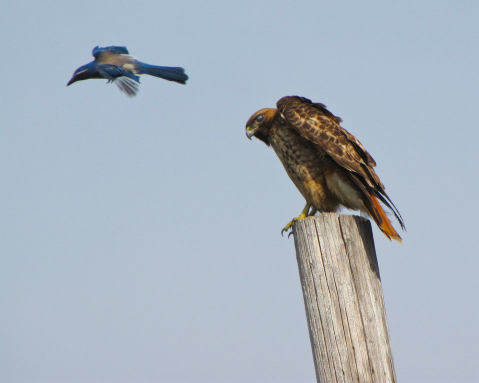 Red-tailed hawk allows another bird entry into its air space near Corps construction site