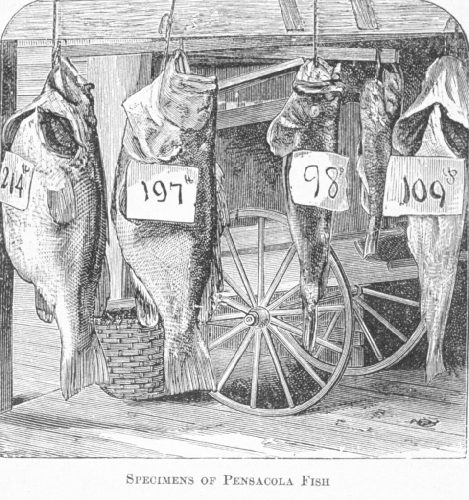Specimens of Pensacola Fish - in 'Florida for Tourists, Invalids, and Settlers'  by George M. Barbour, 1881.  Library Call No. F316 .B23 1881.   Library Call No. F316 .B23 1881.