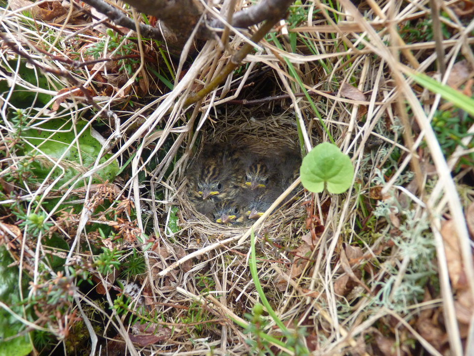 Savannah Sparrow nest