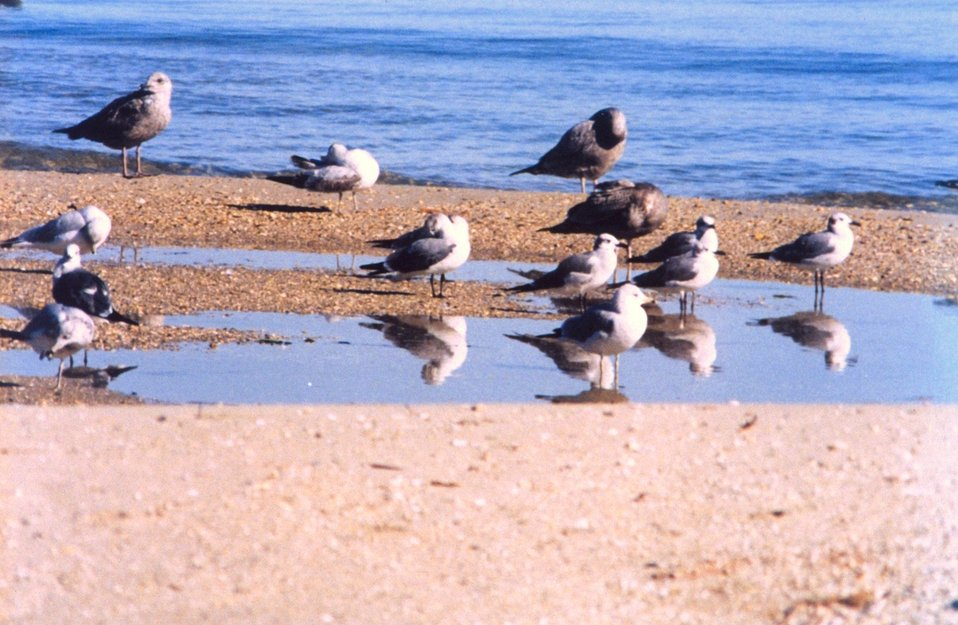 Sea gulls on a Patuxent River beach.