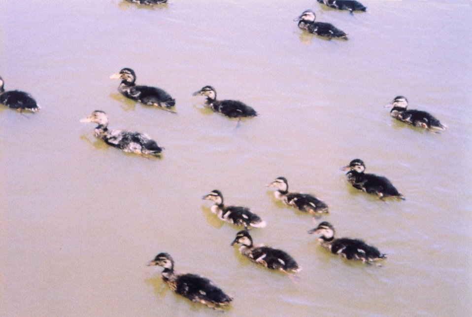 A flock of young mallards.