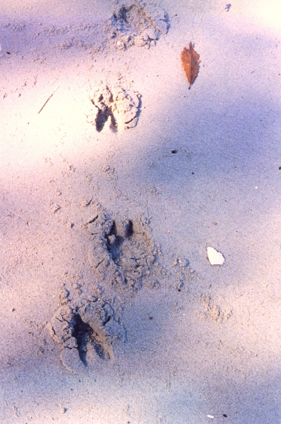 Deer tracks on the beach.