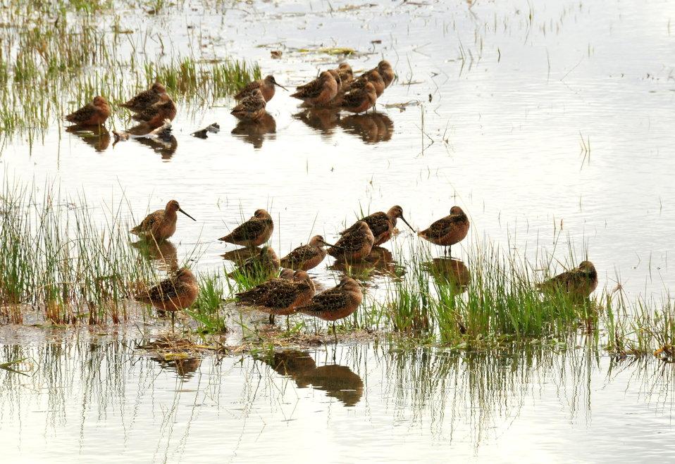 Long billed dowitchers resting on Seedskadee NWR 01
