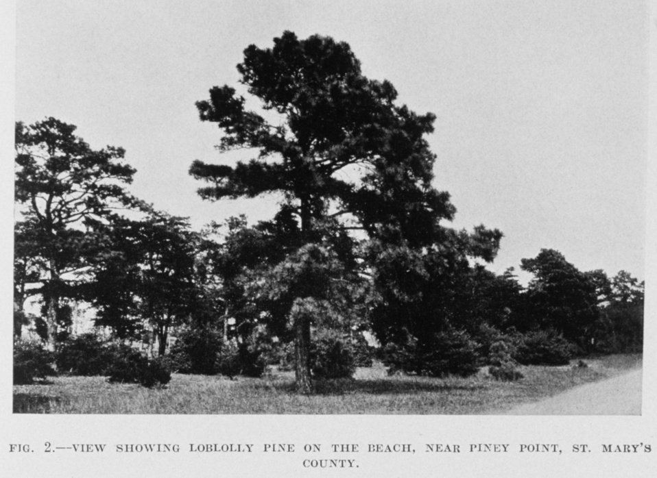 Loblolly pine near the beach in St. Mary's County.
