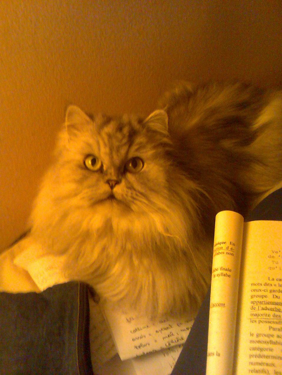 Română:  Pisica persană Babushka.