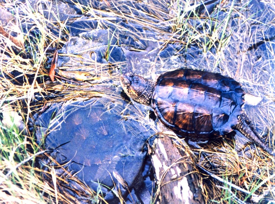 Young snapping turtles being released into the wild. The one on the left is underwater.