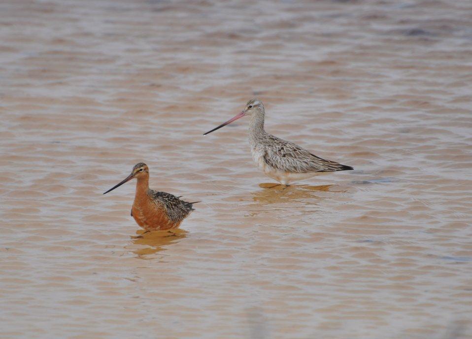 Bar-tailed Godwit pair